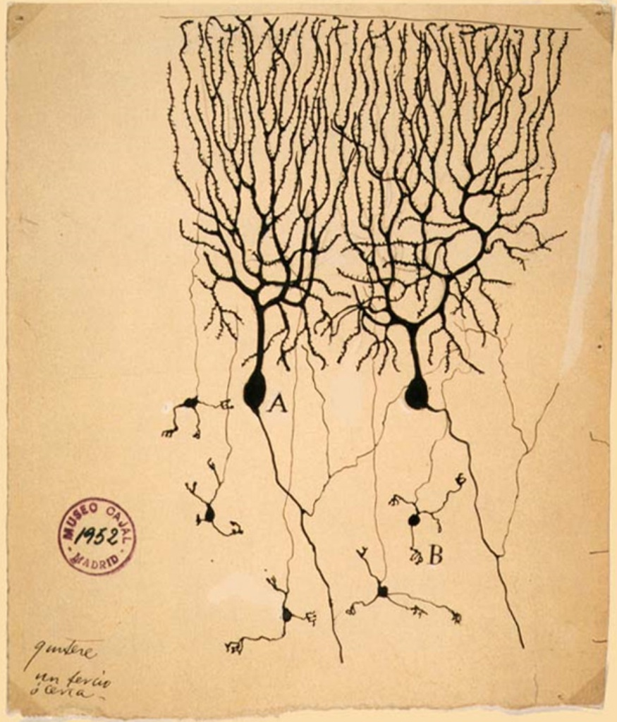 Drawing of Purkinje cells (A) and granule cells (B) from pigeon cerebellum, Santiago Ramón y Cajal (1899)